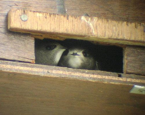 Fitting Swift Nest Places