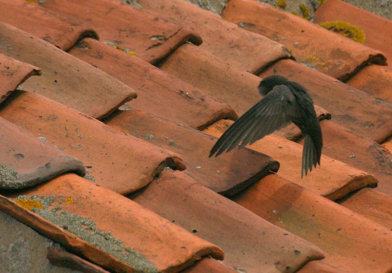 Swifts Can Often Find Places To Nest Under Ill Ing Pantiles On Old Roofs