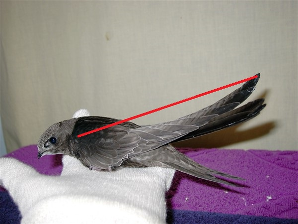 Swift Wing Length check